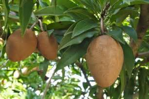 taste of the caribbean sapodilla fruit that feeds your sweet tooth caribbean