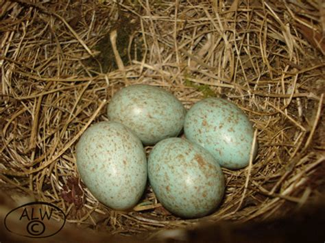 Aa Eggs Wings 4 blackbird eggs 1rst eggs of the year from the