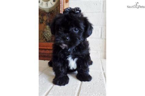 size of yorkie poo yorkiepoo yorkie poo puppy for sale near st louis missouri 4a610531 b481