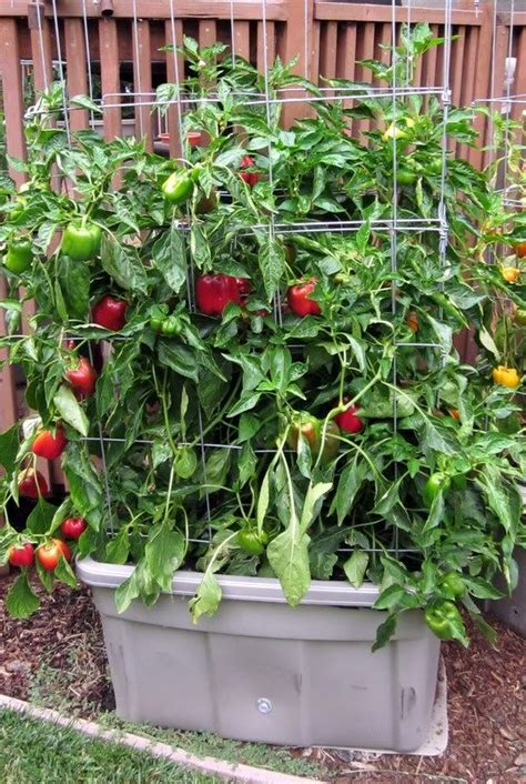 container gardening peppers le veon bell spicy and house on