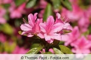 garten azalee schneiden rododendron pflege und schneiden hausgarten net
