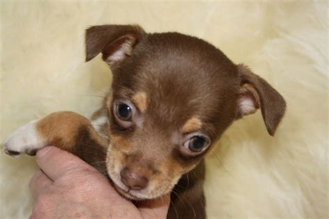 free chihuahua puppies in indiana black haired chihuahua for sale dogs puppies for sale with auto design tech