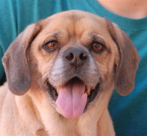 spca pug 25 best ideas about pug beagle mix on puggle puppies boxer beagle mix