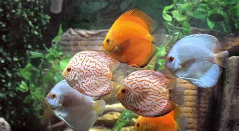 how to choose ornamental fish for aquarium pets world