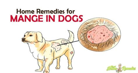 mange home remedy 8 sure home remedies for mange in dogs