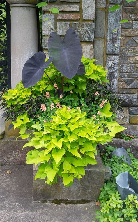 sweet potato container garden 12 beautiful container gardening ideas for shade
