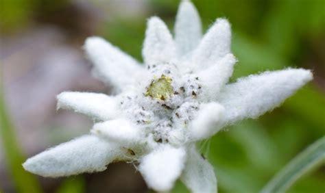 fiore stella alpina abbasso le rughe con la stella alpina www stile it