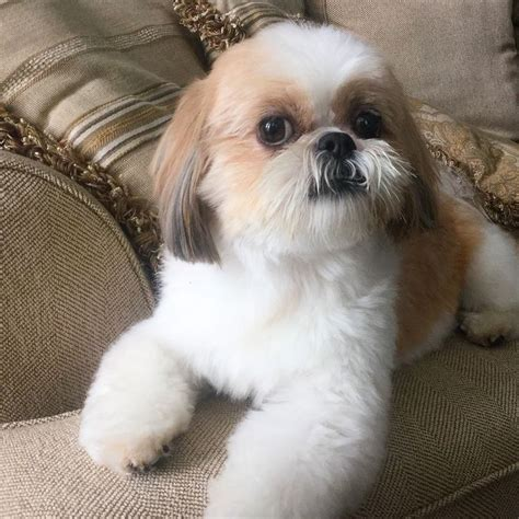sweet and sassy shih tzu snickers the shih tzu shihtzu shih tzu s my shih tzu shih