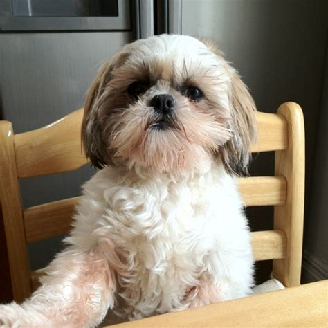 shih tzu family 14 signs you are a shih tzu person