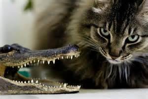 gallery for gt alligator vs cat