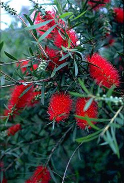 callistemon kings park special   plants