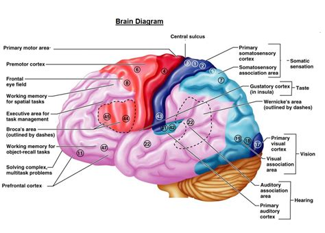 diagram of a brain ways my brain fish of gold