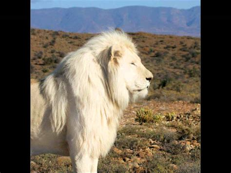 imagenes leon blanco fotos el le 243 n blanco youtube