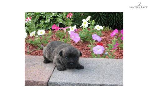 cairn terrier puppies ohio cairn terrier for sale for 450 near tuscarawas co ohio e4d160de 3f31