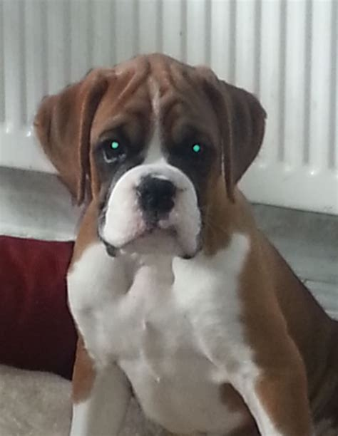 puppies for rehoming boxer for rehoming gravesend kent pets4homes