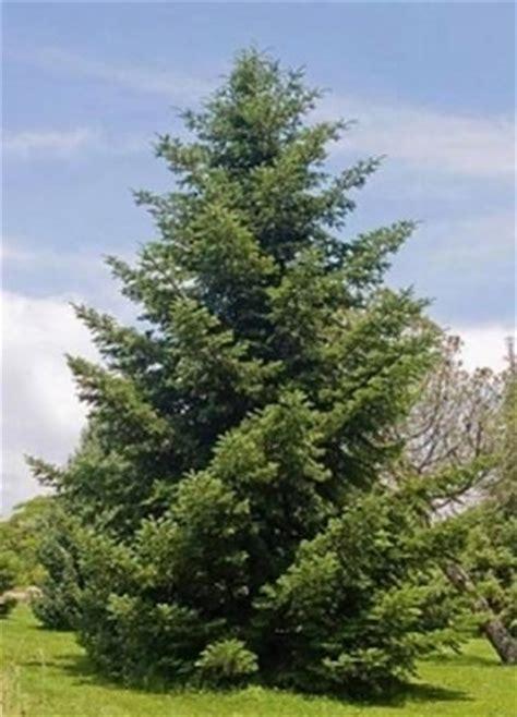 abeti da giardino abete greco alberi conifere