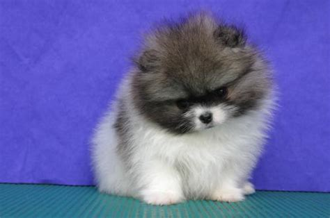 pomeranian puppies for sale in los angeles pomeranian puppies for sale puppies for sale