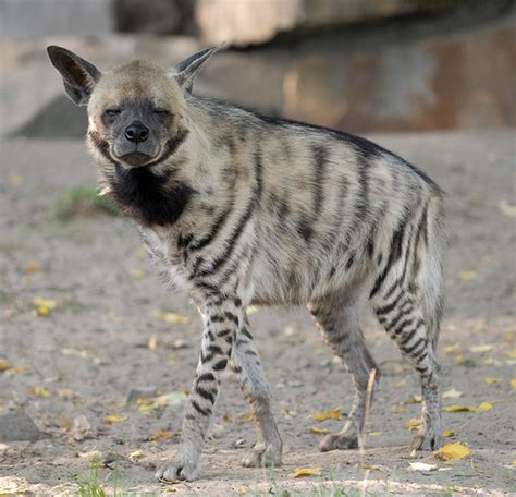Striped Hyena   Facts, Habitat and Pictures