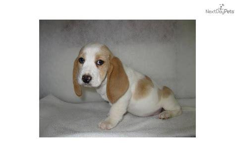 lemon basset hound puppies basset hound puppy for sale near southeast missouri missouri 46f0d1a4 e3a1