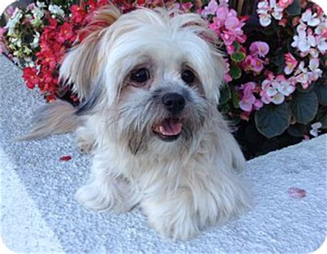shih tzu rescue los angeles los angeles ca shih tzu maltese mix meet aiko a for adoption