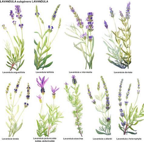 lavender types dream green pinterest