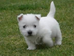 west highland white terrier puppies west highland white terrier puppies popular dog breeds