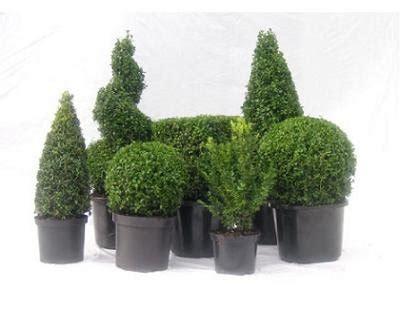 alberelli da terrazzo piante sempreverdi da terrazzo categoria piante da giardino