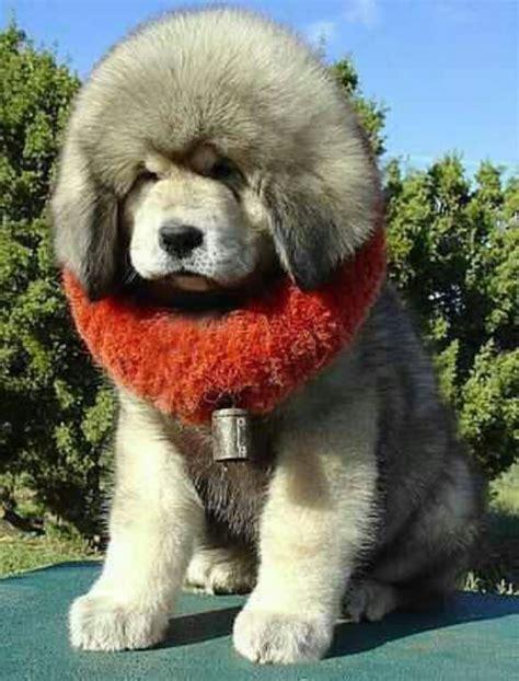 big fluffy puppies big fluffy puppy fluffy animals puppys and fluffy puppies