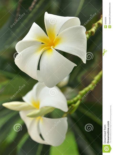 fiori frangipane fiori gialli frangipane su un albero immagine stock