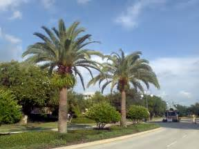 Fruit Trees In Phoenix - buy sylvester palm trees for sale in orlando kissimmee