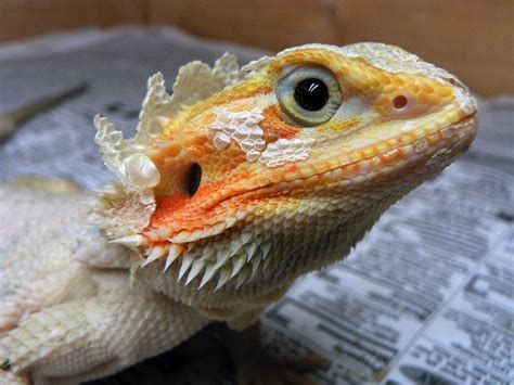 Do Bearded Dragons Shed by Dragons Shed Cool Bearded Org