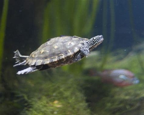 how to tell an aquatic turtle from a land turtle cuteness