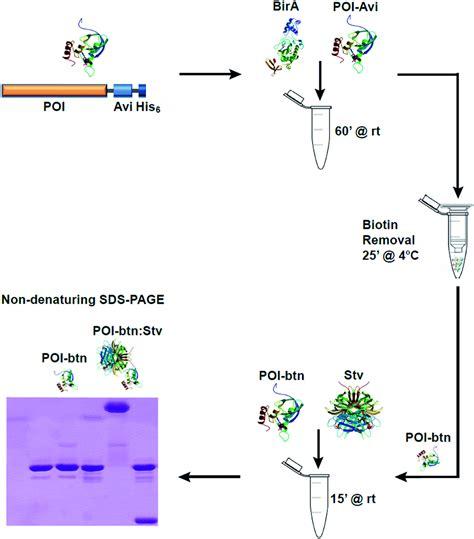 streptavidin protocol in gel detection of biotin protein conjugates with a green