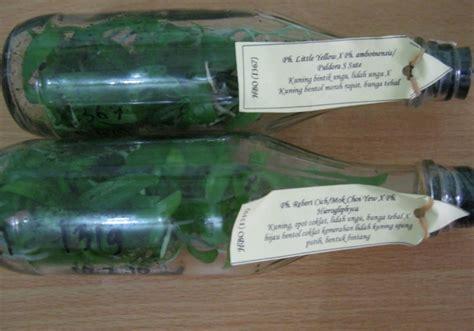 Bibit Anggrek Botol cara menanam anggrek botol tips merawatnya bibitbunga