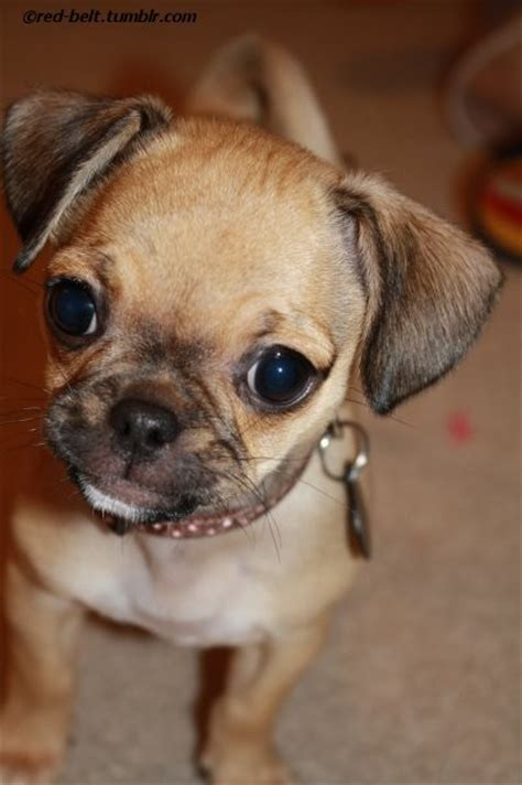 teacup chihuahua pug mix baby black pugs for sale