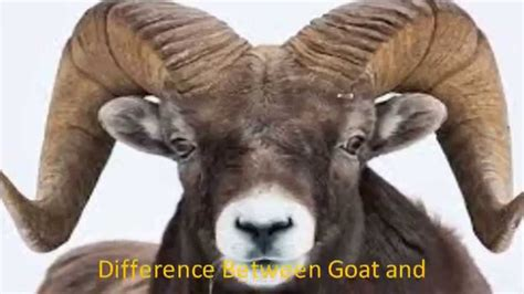 is a ram a difference between goat and ram