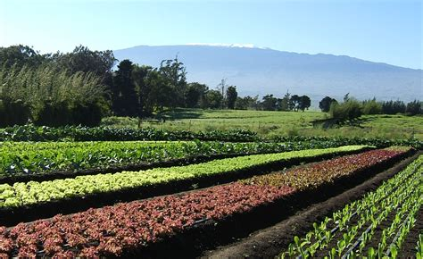 Hawaii Gastronomic Journey Part 3 Big Island Hawaii Vegetable Gardening In Hawaii