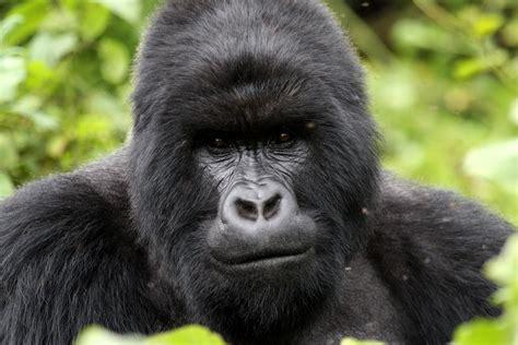 Gorilla gorilla di montagna viaggi vacanze e turismo turisti