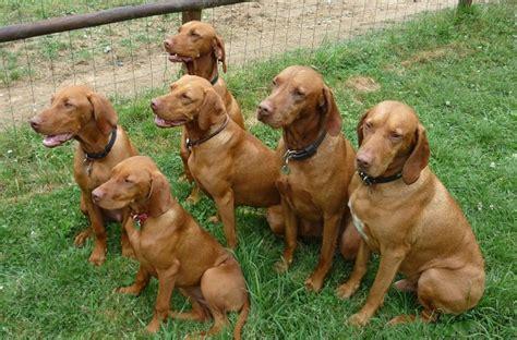vizla puppies puppy list pictures