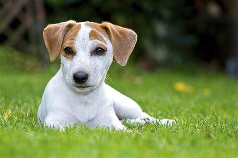 rat terrier dogs rat terrier toate animalele