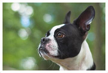 boston terrier puppies arkansas raza boston terrier