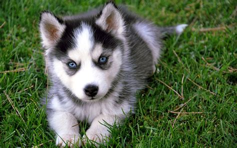baby husky baby siberian husky wallpaper background 6625 wallpaper high resolution