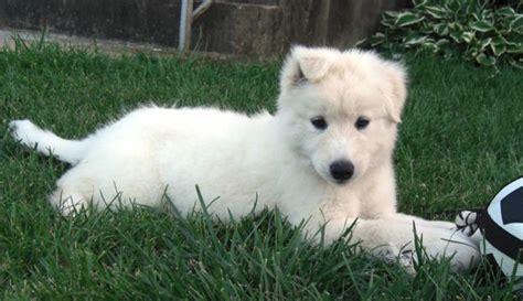 labrador husky puppies labrador husky breed standards