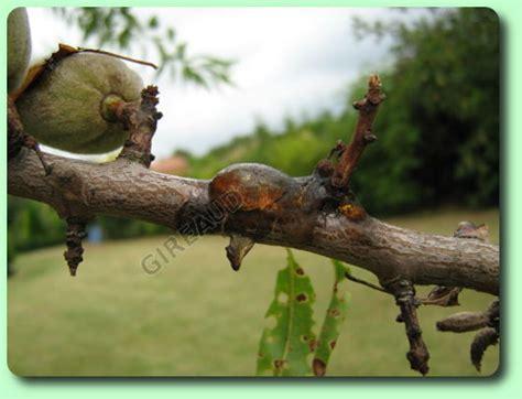 Maladie Abricotier Gommose by La Gomme Les Maladies Des Plantes Potag 232 Res