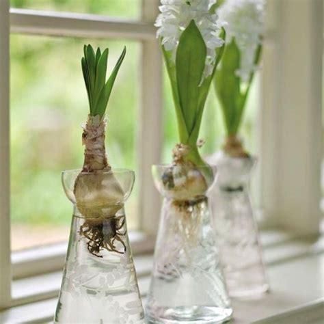 giacinti in vaso bulbi in vaso bulbi
