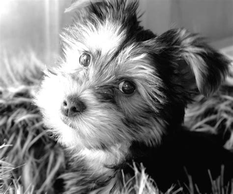 white and yorkie black and white picture of yorkie puppy jpg 1 comment hi res 720p hd
