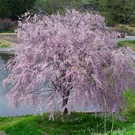 cherry tree cost growers soltuion weeping yoshino cherry tree shidare established roots 2 5 quot potted 3 plants by