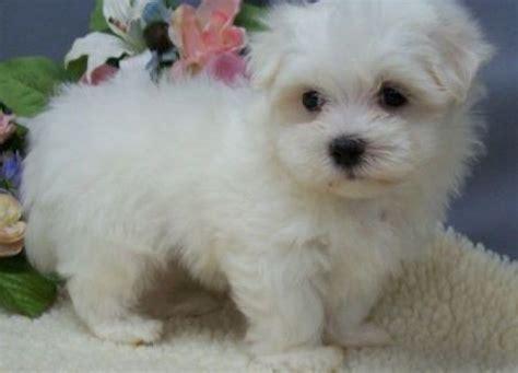 miniature maltese puppies mini maltese puppies for free in nicosia