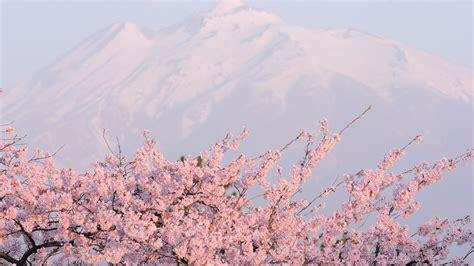 desktop wallpaper hd com sakura flower 20975 1920x1080 px hdwallsource com