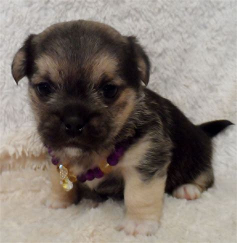 terrier pug cross pin beautiful pug cross maltese terrier ready now manchester on